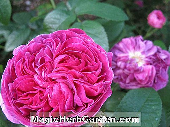 Rosa (Le Rosier Eveque Rose)