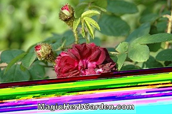 Planter: Rosa (Louis Jolliet Rose)