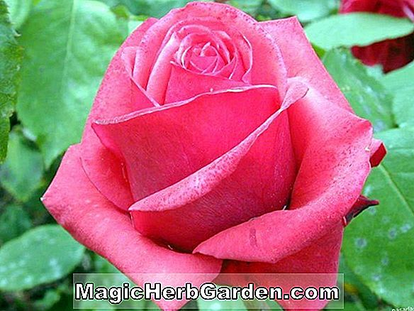Rosa (Magic Sunset Rose)