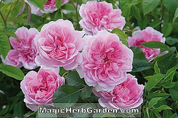 Planter: Rosa (Majeure Rose)