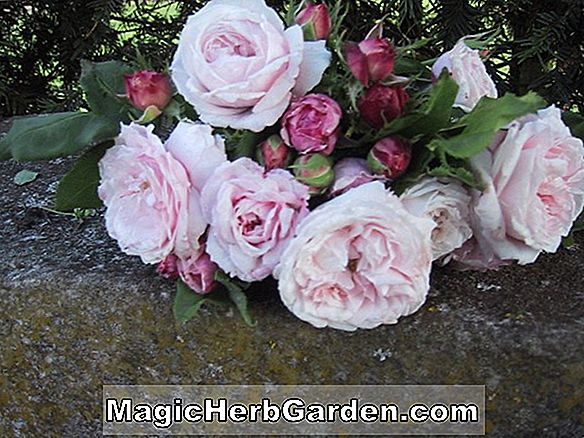 Planter: Rosa (Marlena Rose)