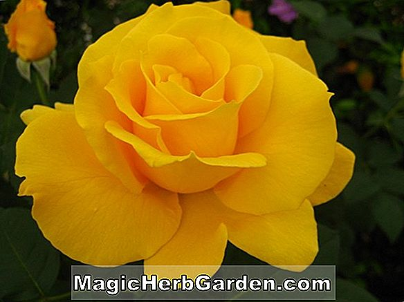 Rosa (Midas Touch Rose)