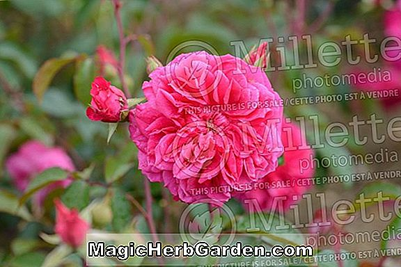 Pflanzen: Rosa (Mountbatten Rose)