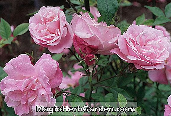 Rosa (alte Blush China Rose) - #2
