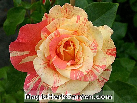 Planter: Rosa (Papa Meilland Rose)