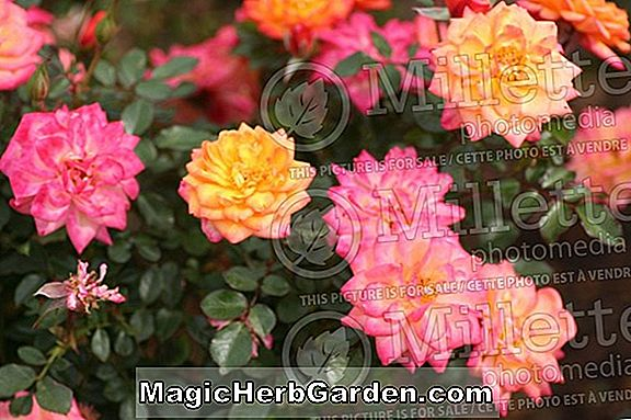 Planter: Rosa (Rainbow Rose)