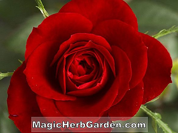 Planter: Rosa (Red Fan Rose)