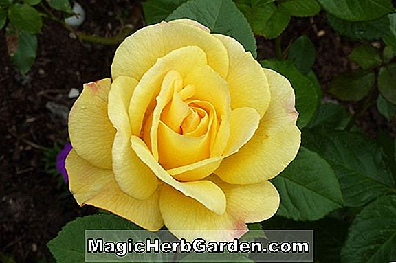 Planter: Rosa (Astree Rose)