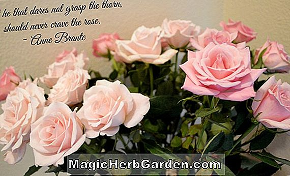 Planter: Rosa (Rob Roy Rose)