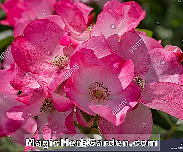 Planter: Rosa (Rush Rose)