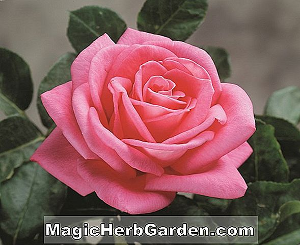 Rosa (Rosy Dawn Rose)