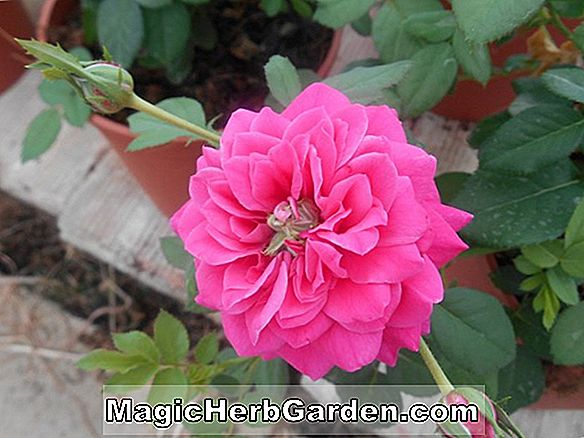 Planter: Rosa (Sangria Rose)