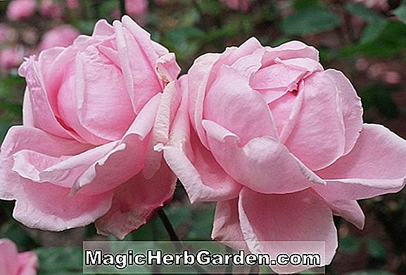Rosa (Silver Moon Rose)