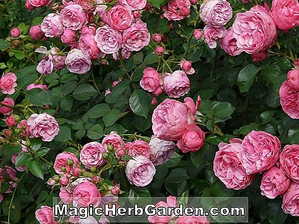 Plantes: Rosa (Feverball Rose)