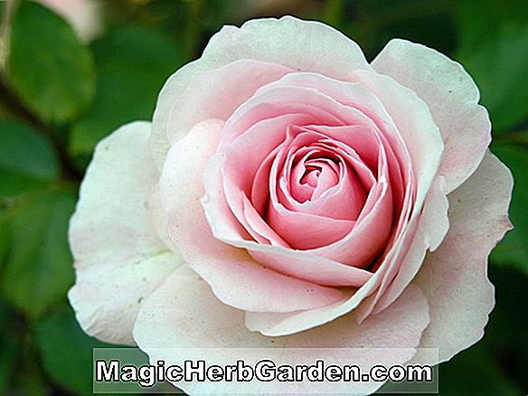 Rosa (The Prioress Rose)
