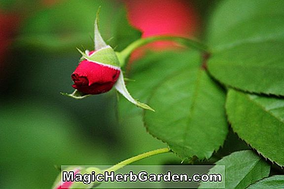Rosa (Thornless Rose)