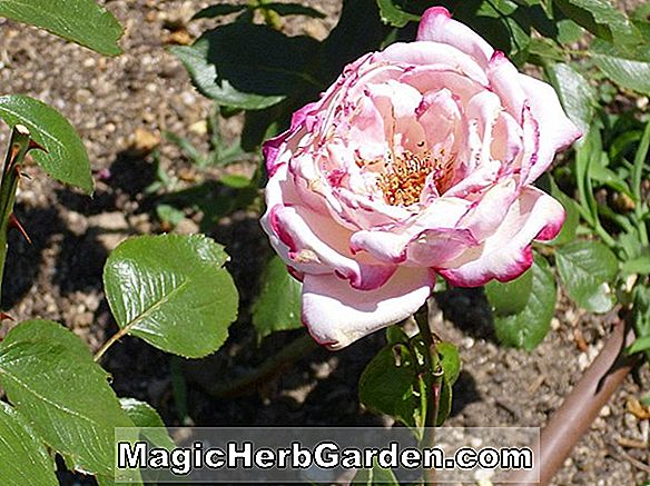 Planter: Rosa (Tony Jacklin Rose)
