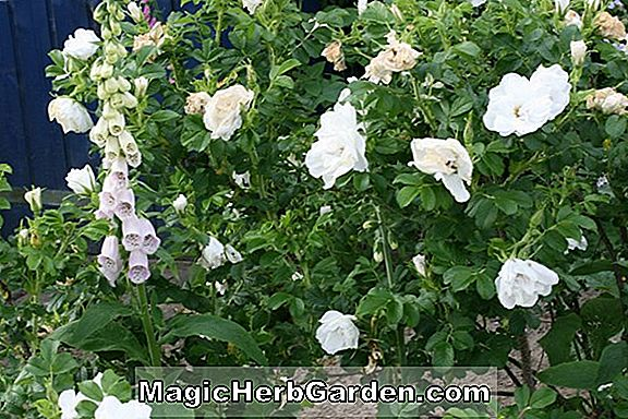 Planter: Rosa (Blanc Double de Coubert Rugosa Rose)