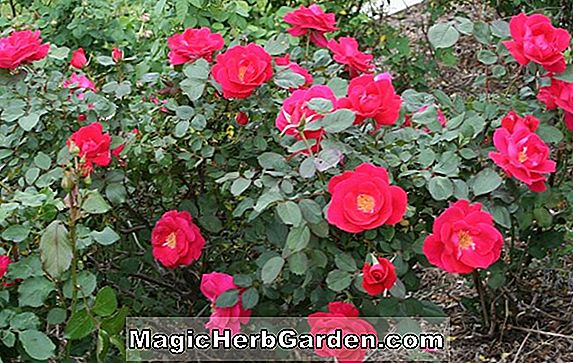 Planter: Rosa (Windrush rose)