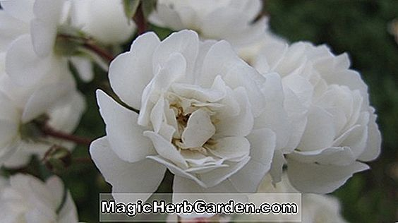 Rosa (Wirruna White Fairy Rose)