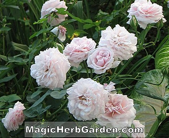 Planter: Rosa (Bow Bells Rose)