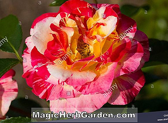 Rosa (Candy Stripe Rose) - #2