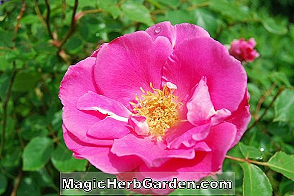 Planter: Rosa (Carefree Beauty Rose)
