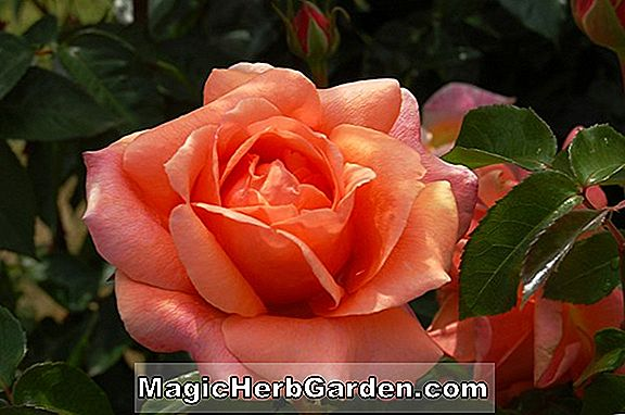 Rosa (Cherry Brandy Rose)