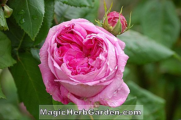 Planter: Rosa (Courtship Rose)