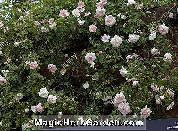 Rosa (Dawn Creeper tm Strauchrose)