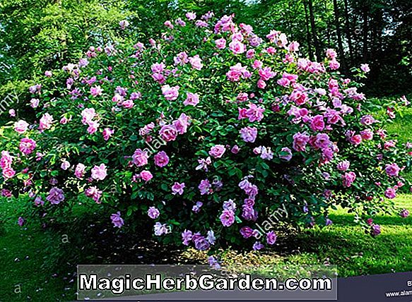 Planter: Rosa (Daylight Rose)