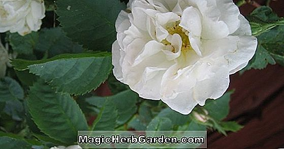 Planter: Rosa Alba (Jacobite Rose)