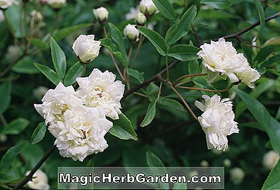 Rosa banksiae (Lady Banks Rose 'Alba Plena')