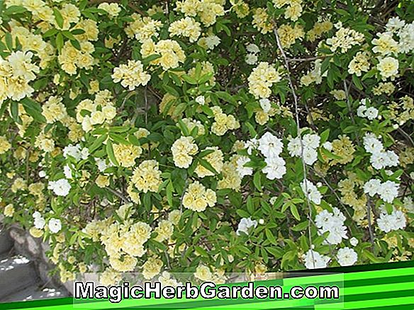 Planter: Rosa banksiae ('Alba Plena' Lady Banks Rose)