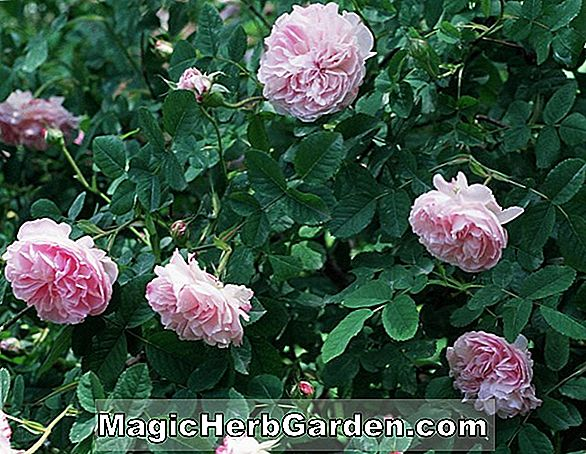 Rosa gallica (Crimson Damask Rose)