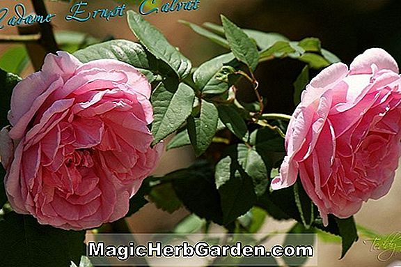Rosa (Mme. Hardy Rose)