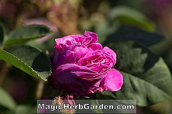 Rosa (Fru Oakley Fisher Rose)