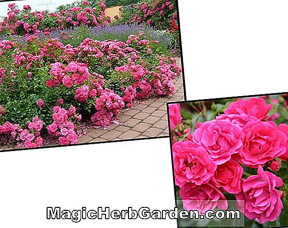 Planter: Rosa noatraum (Flower Carpet Rose)