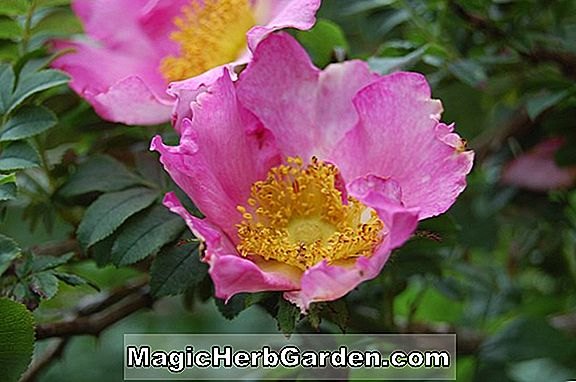 Rosa Roxburghii (Burr Rose) - #2