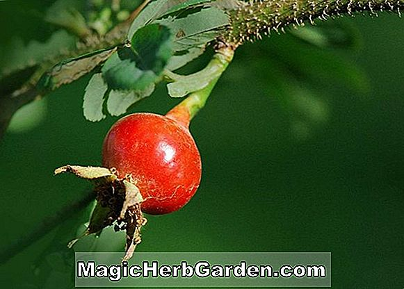 Rosa sericea (Winged Thorn Rose)