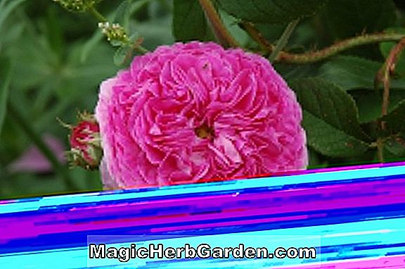 Planter: Rosa (Morningrose Rose)
