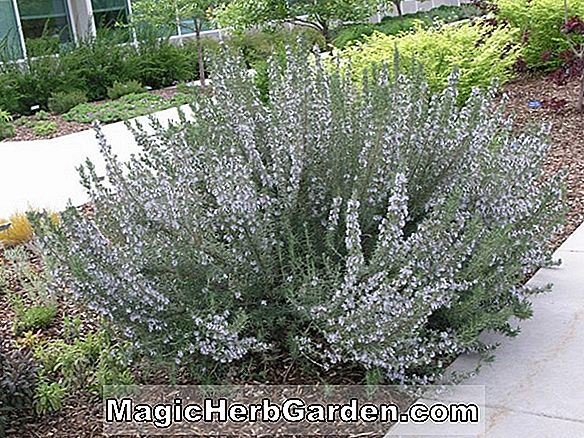 Plantes: Rosmarinus officinalis (Rosemary Rose)