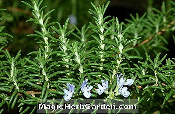 Planter: Rosmarinus officinalis (Pink Rosemary)