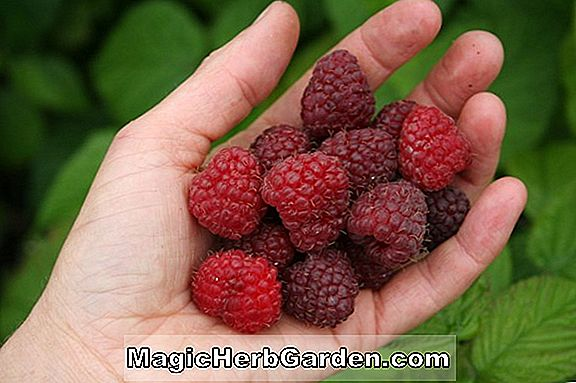 Planter: Rubus idaeus (Willamette Raspberry)