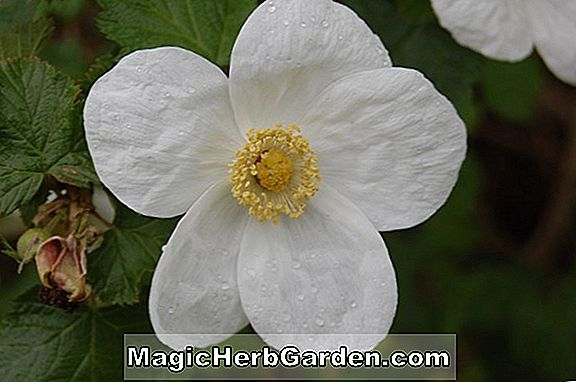 Rubus (Betty Ashburner Bramble)