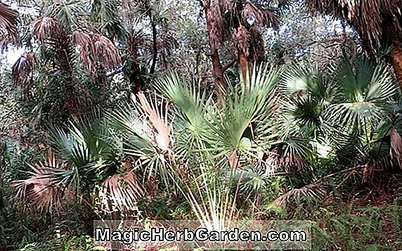 Planter: Sabal minor (Scrub Palmetto)