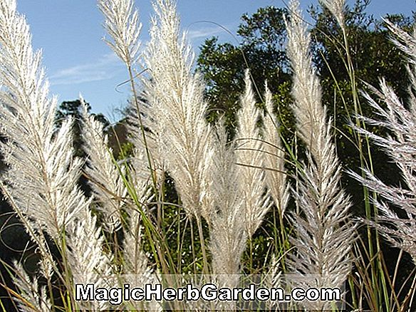 Planter: Saccharum ravennae (Plume Grass)
