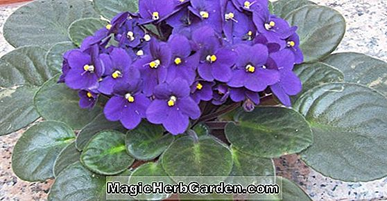 Saintpaulia ionantha (Ediths Toy African Violet)