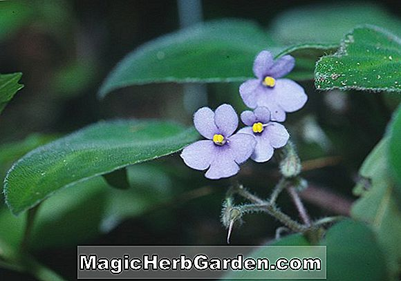 Saintpaulia ionantha (Shades of Autumn African Violet)