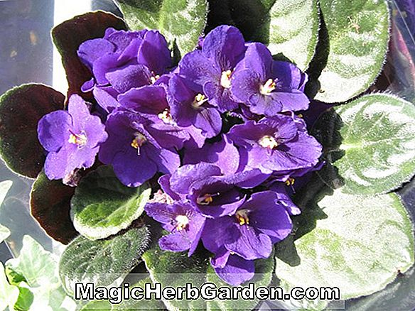 Saintpaulia ionantha (Concord African Violet)